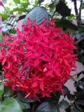 Rozgałęźnika zmrok - czerwony Ixora Coccinea zdjęcia stock