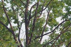 Rozgałęziać się zielony dębowy drzewo Zdjęcie Royalty Free
