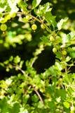 rozgałęzia się agresta Fotografia Stock