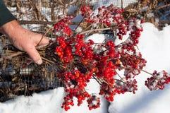 Rozgałęzia się czerwonej róży w ręce Zdjęcie Royalty Free