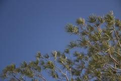 rozgałęzia się futerkowego drzewa Zdjęcia Royalty Free