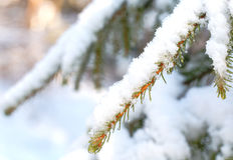 rozgałęzia się futerkowego drzewa Zdjęcie Stock