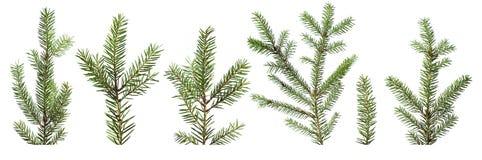 rozgałęzia się jedlinowego drzewa obraz royalty free