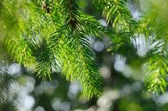 rozgałęzia się jedlinowego drzewa Zdjęcie Royalty Free
