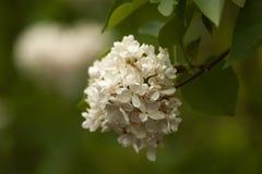 rozgałęzia się lilego biel tła naturalny kwiecisty Zdjęcie Royalty Free