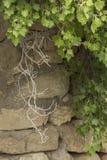 Rozgałęzia się rodzynki przeciw tłu kamienna ściana Obrazy Stock