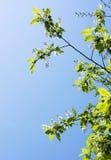 rozgałęzia się wiosna czereśniowego drzewa Zdjęcia Royalty Free