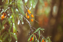 Rozgałęzia się z jagodami denny buckthorn i zielenieje liście Fotografia Royalty Free