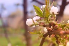 Rozgałęzia się z kwiatami, gałąź z kwiatami na jabłoni Zdjęcia Stock