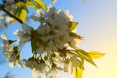 Rozgałęzia się z kwiatami, gałąź z kwiatami na jabłoni Zdjęcie Royalty Free