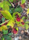 Rozgałęzia się z liśćmi, jagodami i pluskwą, Obrazy Royalty Free