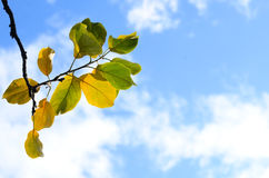 Rozgałęzia się z zieleni i koloru żółtego liśćmi przeciw niebieskiemu niebu z bielem Fotografia Stock