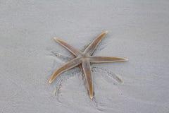 Rozgwiazda na plaży w wyspie karaibskiej, Bahamas fotografia stock