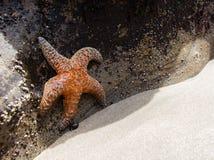 Rozgwiazda próbuje uciekać słońca światła wydry skałę Oregon z wody Zdjęcie Royalty Free