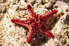 Rozgwiazda w Afryka Fotografia Royalty Free