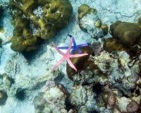 Rozgwiazdy błękita menchie barwią na ręce w andaman morzu, mały zwierzę fr Zdjęcia Royalty Free