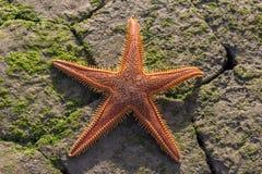 rozgwiazdy plażowa inkasowa czerwona podróż Fotografia Stock