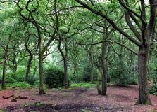 Rozjaśniać w dębowym lasu lesie z zielonymi drzewami Obrazy Royalty Free