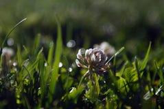 Rozjaśnia Koniczynowego kwiatu Fotografia Royalty Free