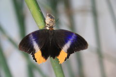 Rozjarzony gigantyczny sowa motyl Obraz Royalty Free