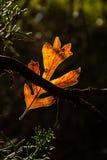 Rozjarzony jesień liść Fotografia Royalty Free