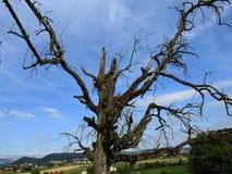 Rozkładać się ręki nieżywy drzewo Zdjęcie Royalty Free