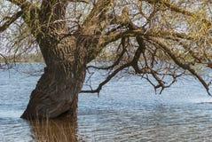 Rozkładać się szerokiego gałęzistego drzewa Gęsty bagażnik ogromny topolowy drzewo w wodzie podczas wiosny powodzi rzeka obraz stock