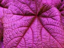 Rozkrzyczane menchie na liściu z szczegółami deseniują teksturę Zdjęcia Stock
