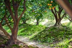 Rozległy tangerine ogród w południe Chiny obrazy stock