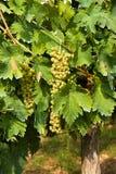 Wiązka winogrona Fotografia Royalty Free