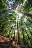 Rozmaitość korony drzewa w wiosna lesie przeciw niebieskiemu niebu z słońcem Dolny widok drzewa Zdjęcie Stock