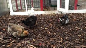 Rozmaitość kurczaki drapa i dzióbać w jardzie zbiory
