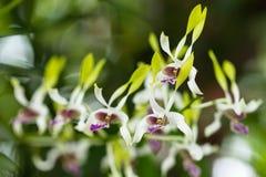 Rozmaitość orchidea Zdjęcia Royalty Free