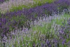 Rozmaitość różni lawendowi krzaki zasadzający w rzędach dla dramatycznego skutka w lawendzie uprawiają ogródek zdjęcie stock