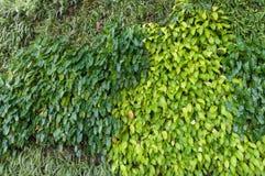 Rozmaitość rośliny w vertical ogródu tekstury ścianie Obrazy Royalty Free