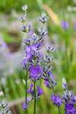 Rozmarynów kwiaty Fotografia Stock