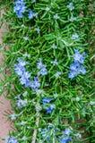 Rozmarynów kwiaty Zdjęcia Royalty Free