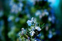 Rozmaryn gałąź w kwiacie Obraz Stock