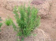 Rozmaryn roślina Zdjęcie Stock