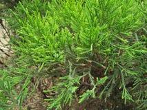 ROZMARYNOWA ogrodnictwo roślina obraz royalty free