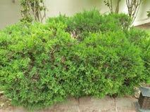 ROZMARYNOWA ogrodnictwo roślina obrazy stock