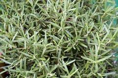 Rozmarynowa zielarska roślina Fotografia Stock