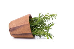 rozmarynowi ziele i Leczniczy ziele Organicznie leczniczy ziele świeży Fotografia Stock