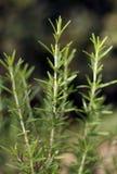 Rozmaryny (Rosmarinus officinalis) Zdjęcie Stock
