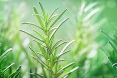 Rozmaryny zasadzają w ogródzie Kulinarny aromatyczny ziele zdjęcia stock
