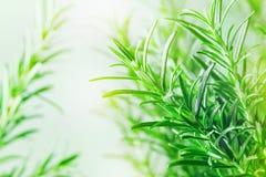 Rozmaryny zasadzają w ogródzie Kulinarny aromatyczny ziele obrazy royalty free