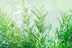 Rozmaryny zasadzają w ogródzie Kulinarny aromatyczny ziele zdjęcie stock