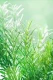 Rozmaryny zasadzają w ogródzie Kulinarny aromatyczny ziele obraz royalty free