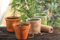 Rozmaryny zasadzają w flowerpots Zdjęcia Royalty Free