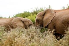 Rozmowa - afrykanina Bush słoń Zdjęcia Royalty Free